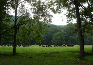 Cattle grazing at Shipe place